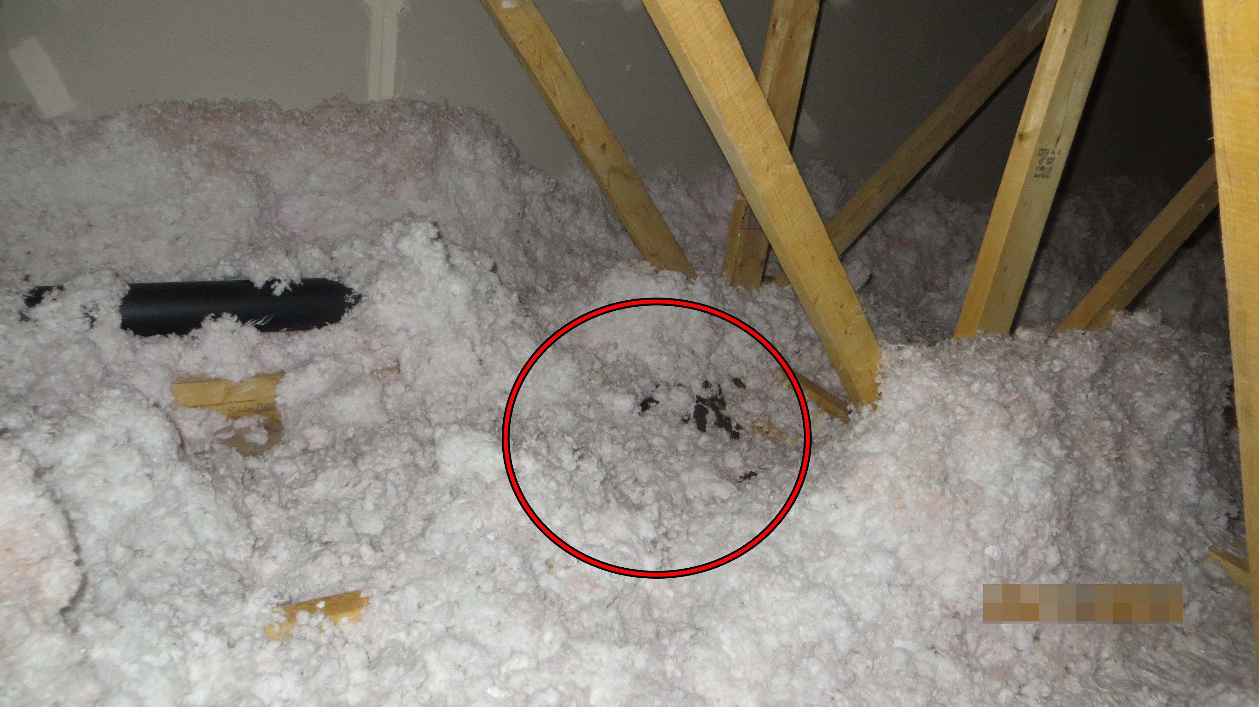 Racoon feces in attic